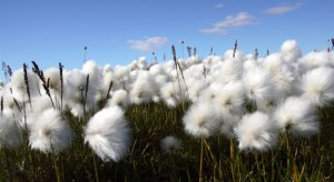organic cotton, cotton field